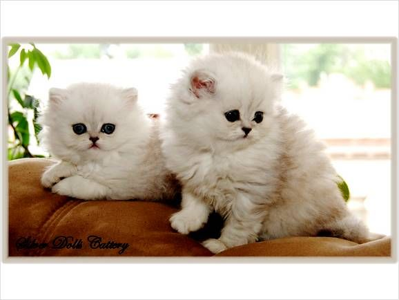 Teacup Persian Kittens For Sale 1 800 Bardstown Kentucky Persian Kittens Kittens Cutest Kittens