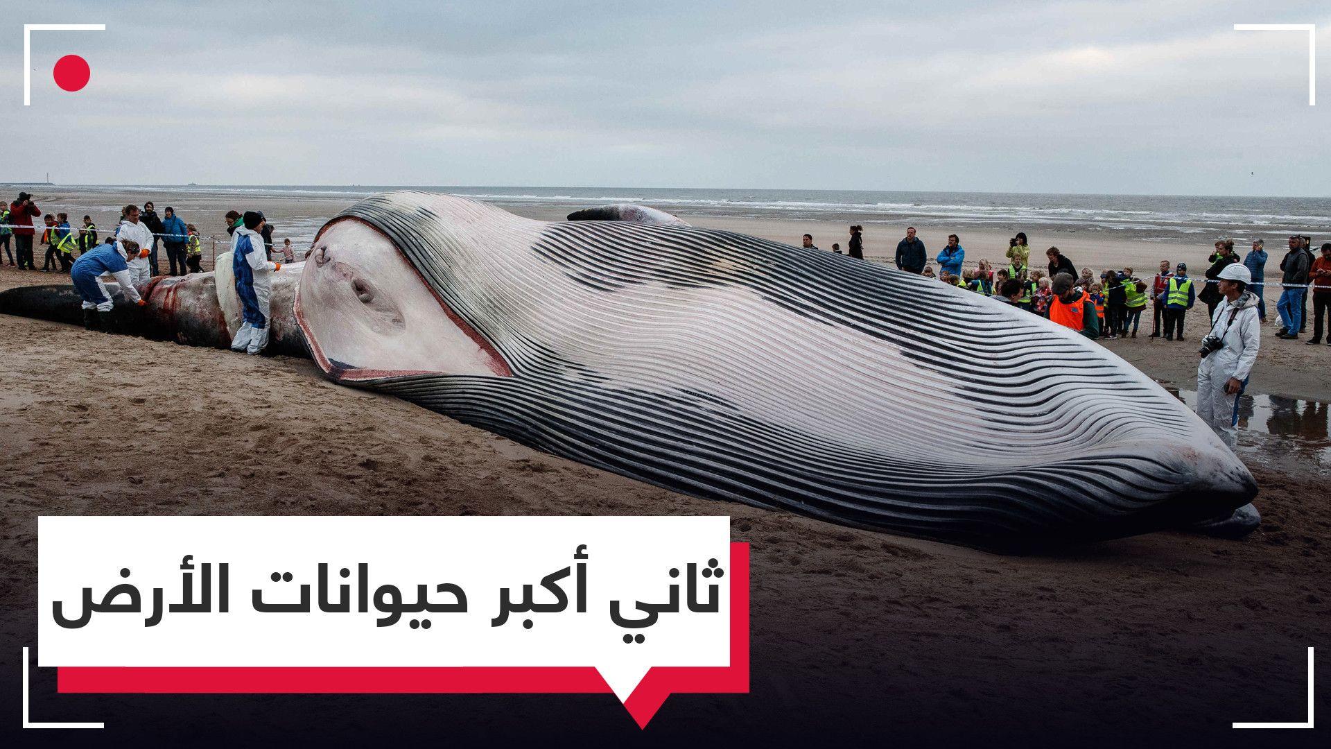 لقطات نادرة لتفريغ بطن حوت الزعنفة الظهرية ثاني أكبر حيوان على سطح الأرض Ili Fish