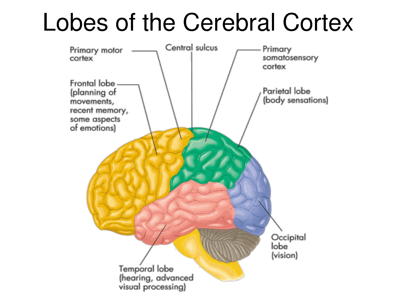 Lobes of the Cerebral Cortex | ICU Nursing | Pinterest | Cerebral cortex, Brain and Physiology
