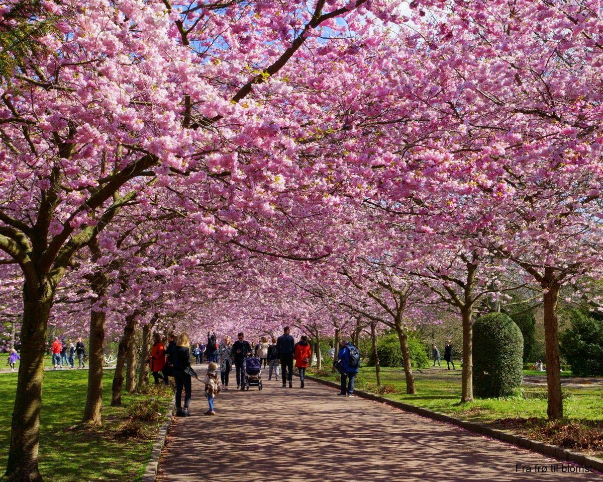 Fra frø til blomst: Kirsebærtræerne blomstrer på Bispebjerg Kirkegård