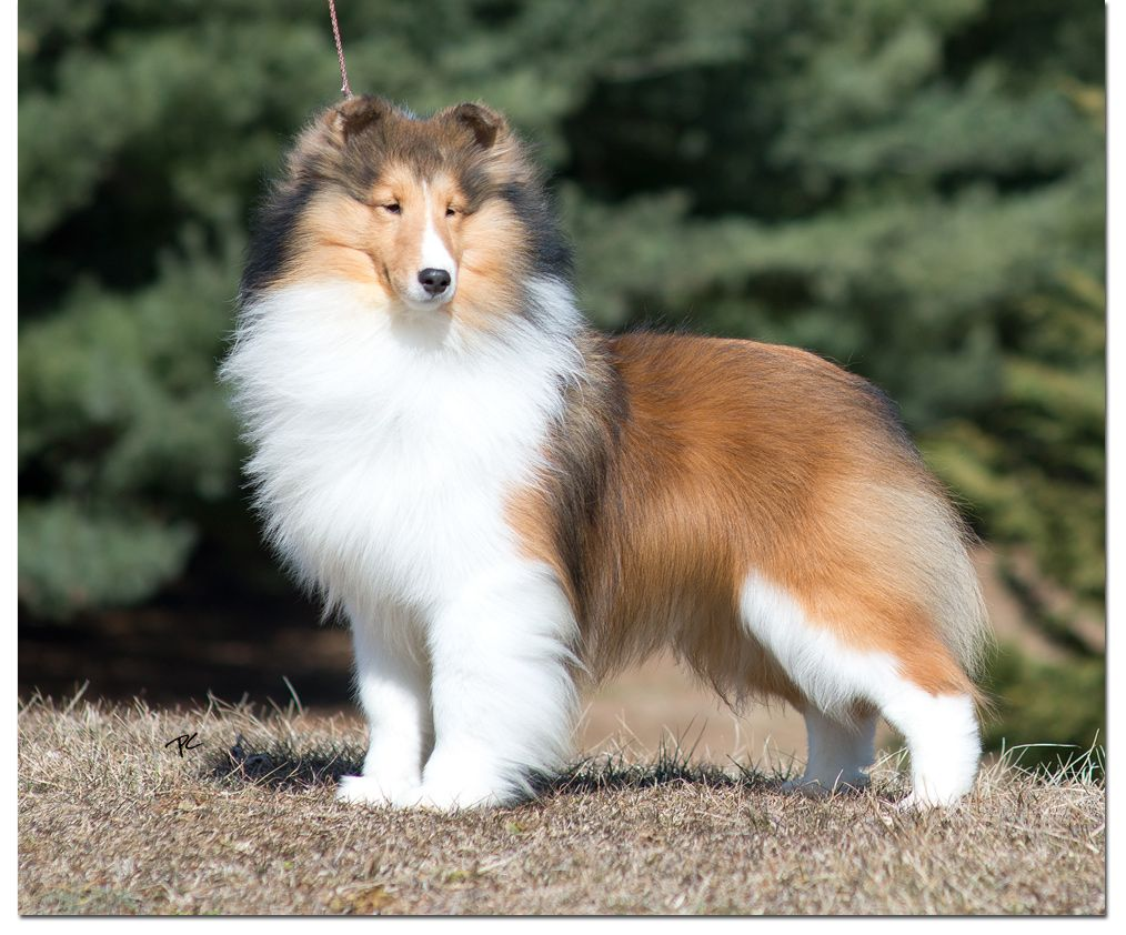 Am Ch Laureate Invincible Sheltie Dogs Shetland Sheepdog
