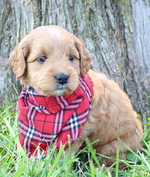 Taylor Goldendoodle puppies for sale near Grabill
