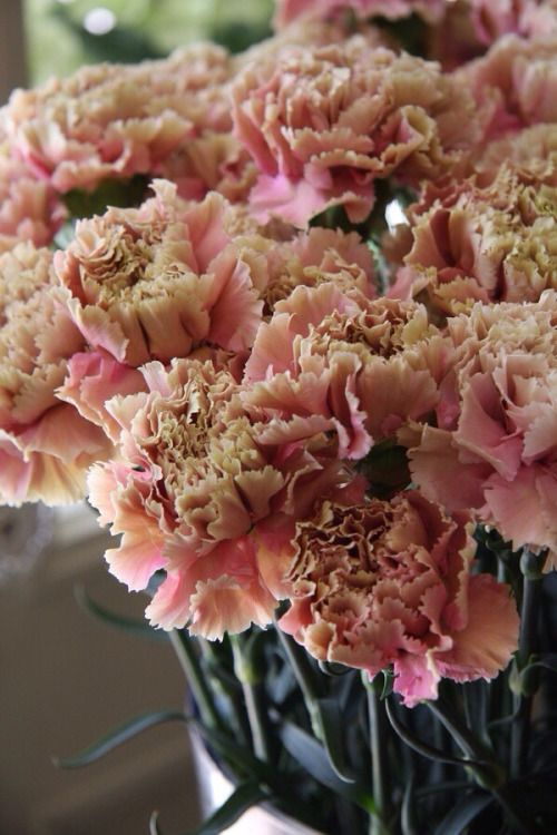 Dusty Sun Ray Carnations Beautiful Flowers Carnation Flower