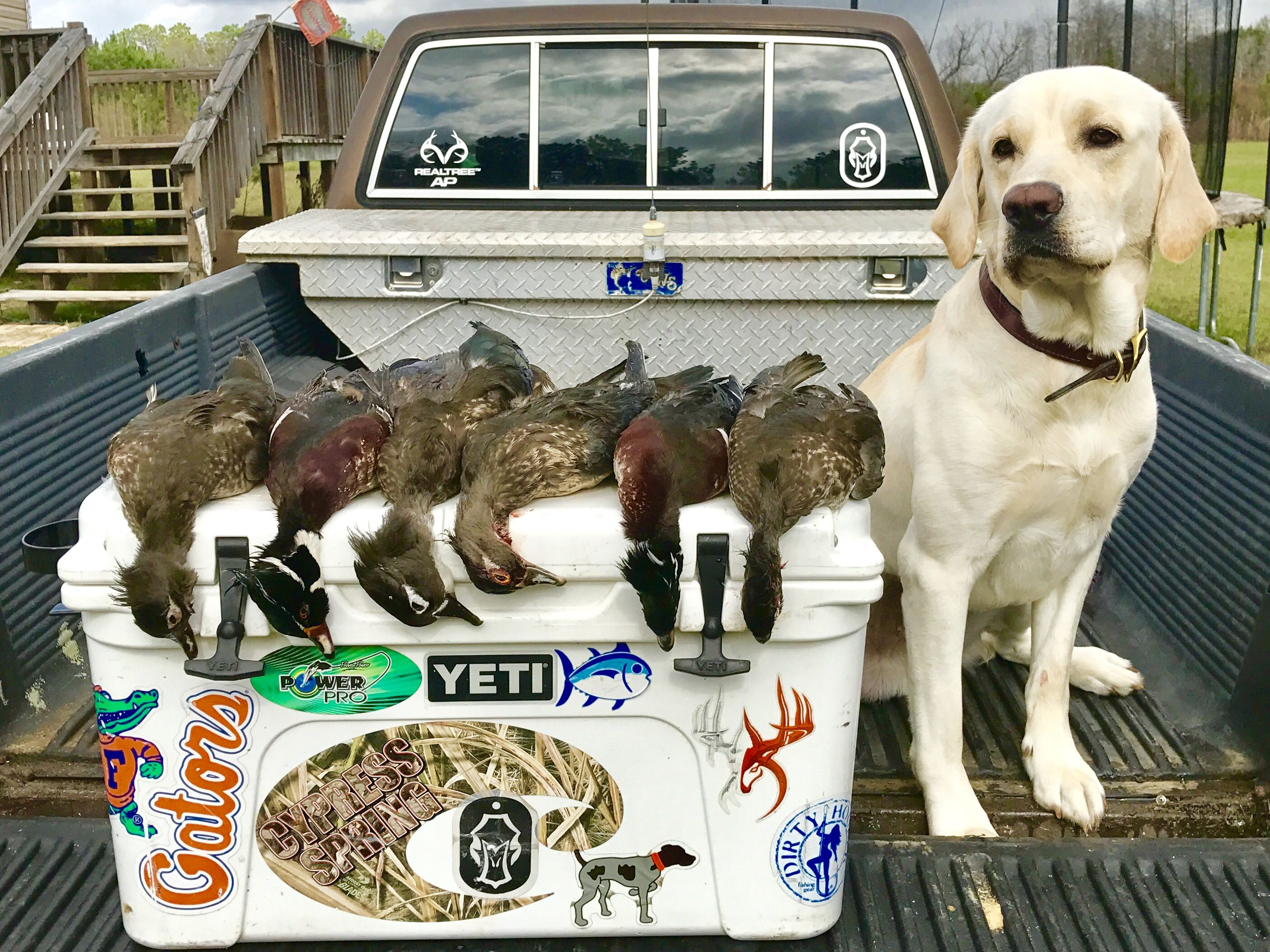 Duck hunting labrador retriever with images duck
