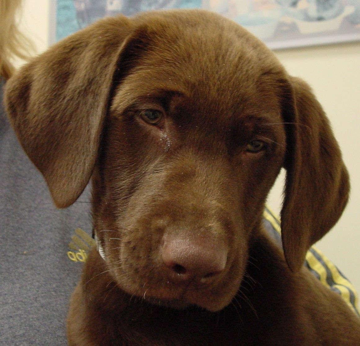 Cute Chocolate Lab Puppies With Blue Eyes Chocolate Lab Puppy