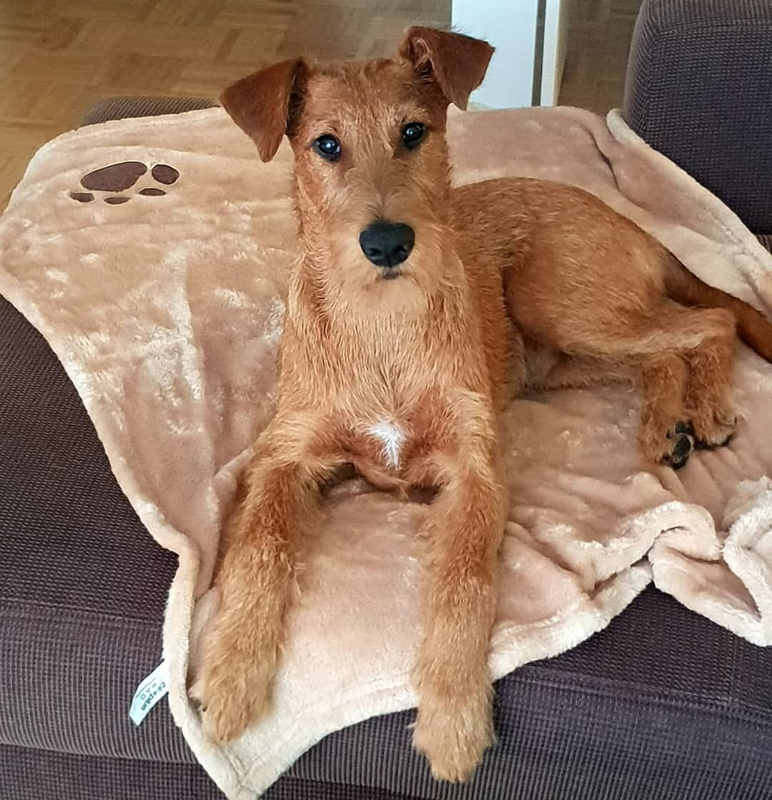 Freshly trimmed and showered irish terrier dog gifts