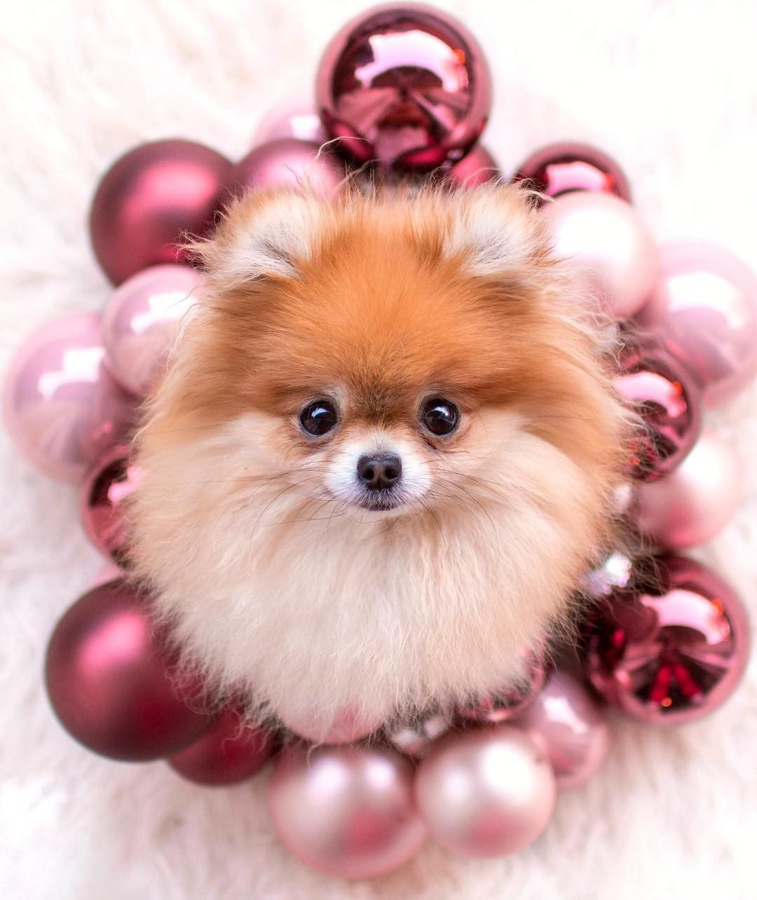 Idea by Lindamills47 on Pomeranians Pomeranian puppy