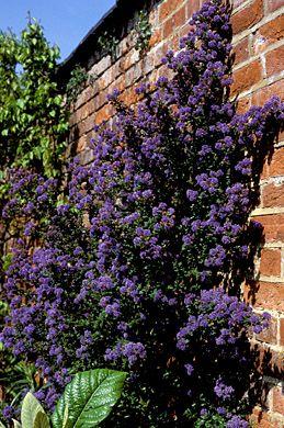 ceanothus 39 puget blue 39 evergreen shrub 3m x 3m flowers. Black Bedroom Furniture Sets. Home Design Ideas