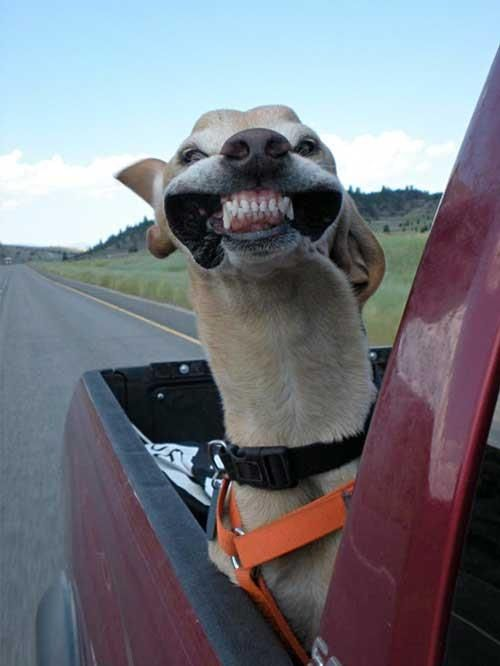 Dog Smiling in the Wind