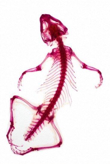 Bearded dragon (Pogona vitticeps) skeleton, 2012. The Wellcome ...