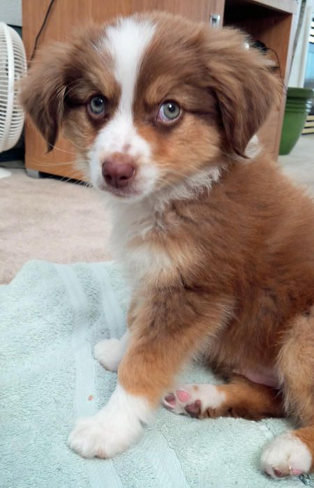 Copper The Australian Shepherd Cute Dogs And Puppies Aussie