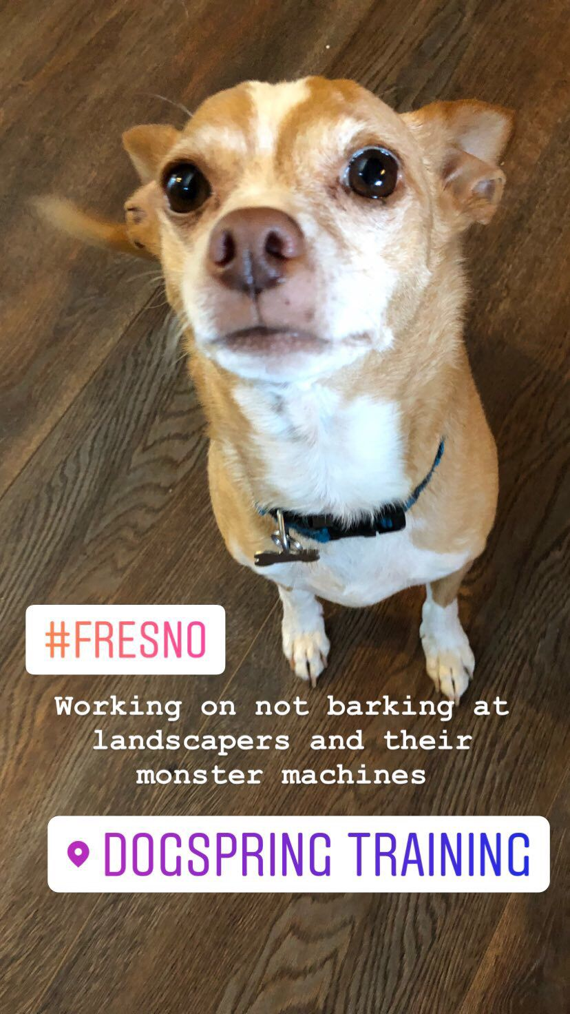Chihuahua Working On Not Barking At Strangers Dogspring Training