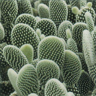 Orejas de conejo suculentas y cactus pinterest for Informacion sobre el cactus