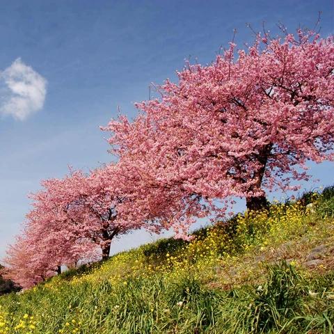 Kwanzan Cherry Tree In 2020 Fast Growing Trees Plants Flowering Cherry Tree