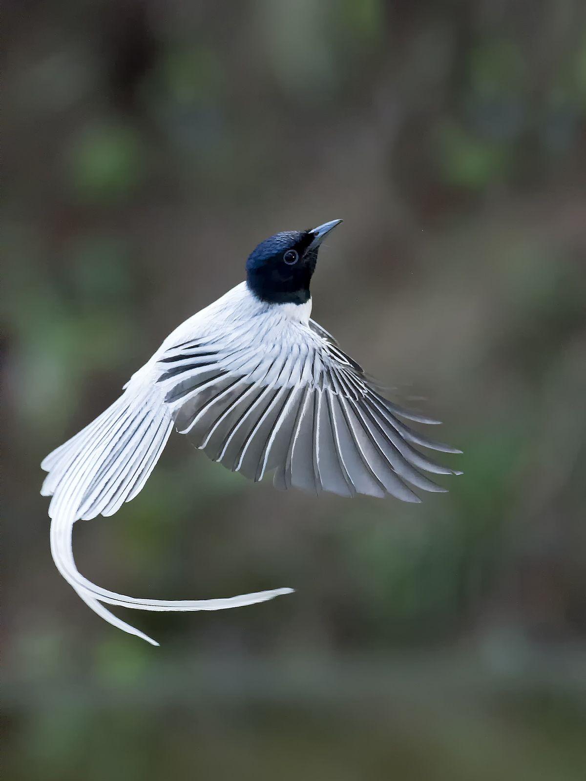 Asian Paradise Flycatcher (whitemorph) _ Boluo ֎ Wild
