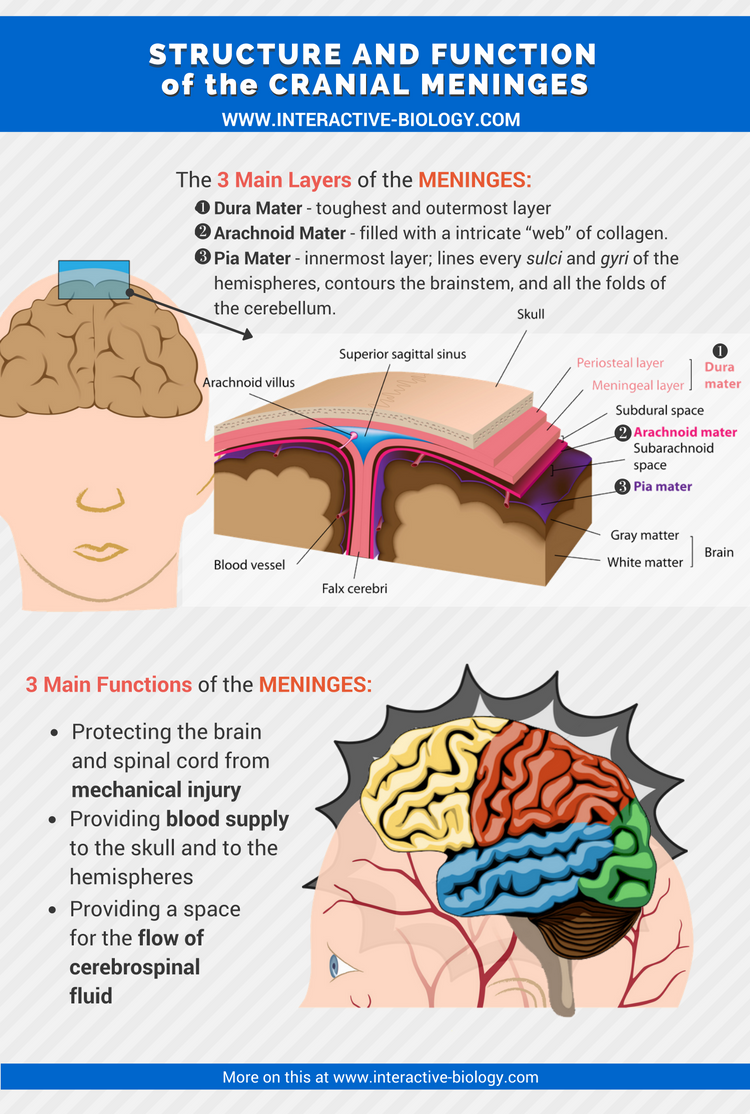 There are 3 layers of protection and support between the brain and ...