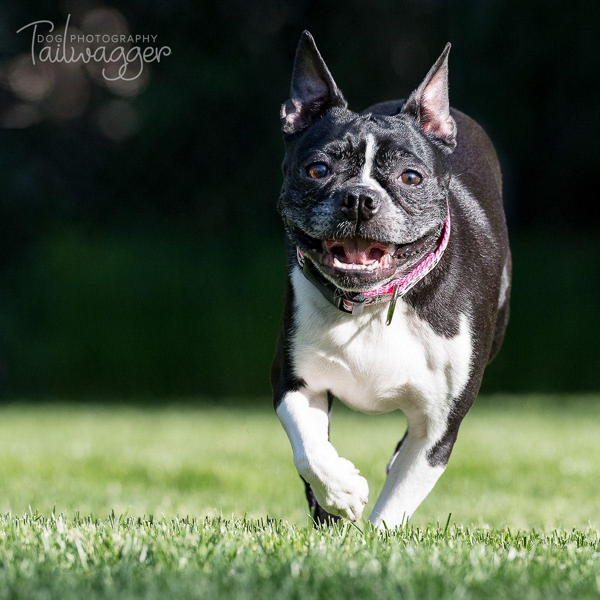 Look at that girl run! frenchbulldog dogphotography