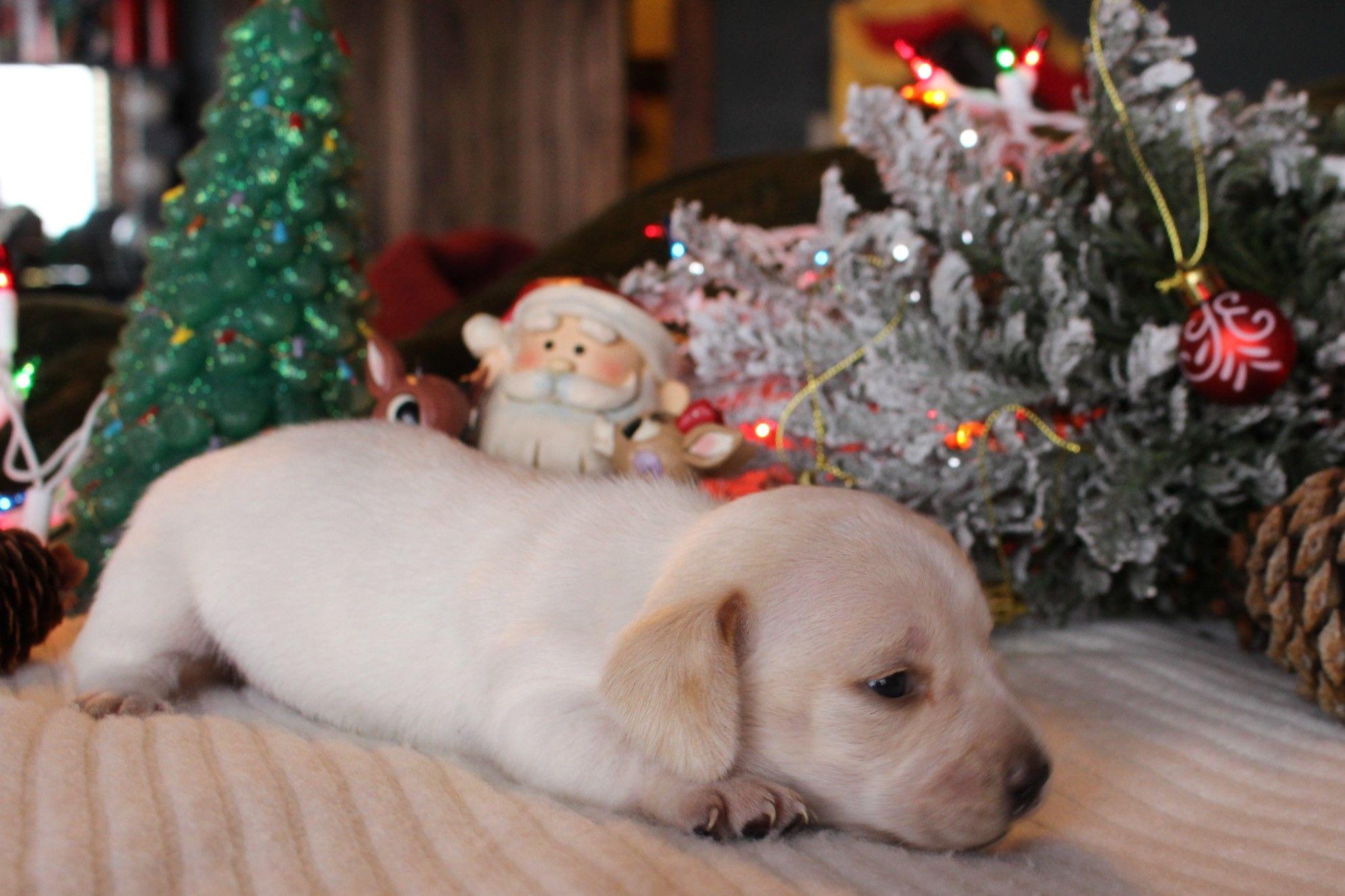 Cream Piebald Shorthair Miniature Dachshund Dachshund Puppies