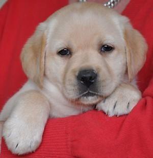 Dogs Goldador Puppies Lab Golden Retriever Mix The Perfect