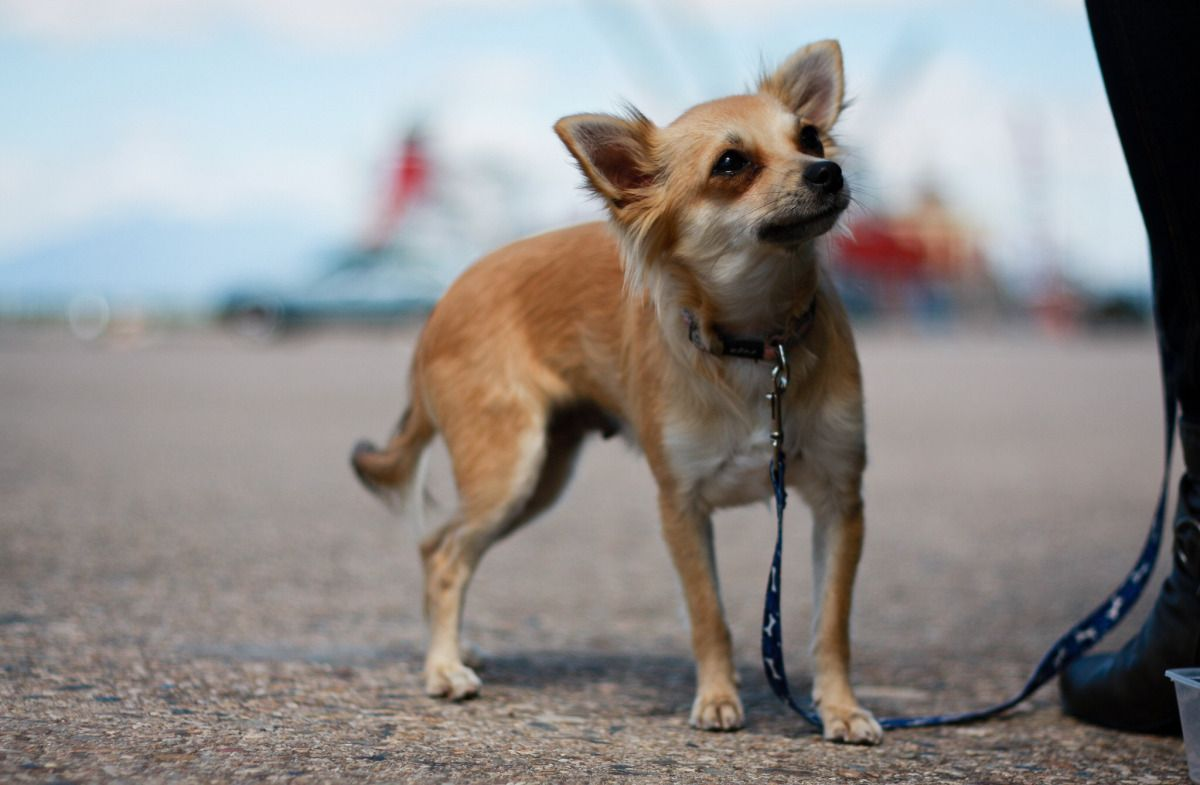 how to teach your puppy to heel on leash