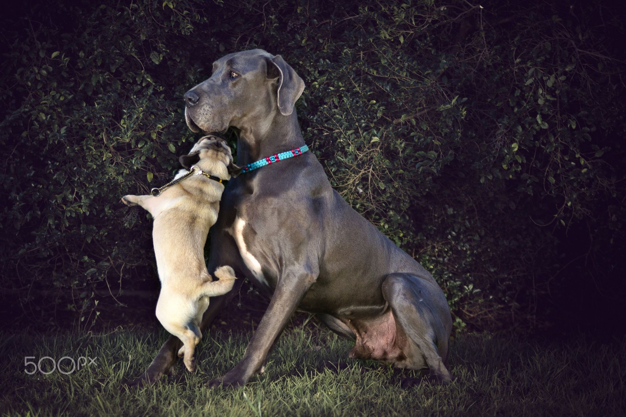 Let S All Get Along A Pug Tries To Convince A Great Dane To Play