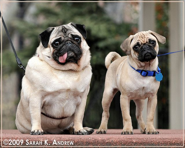 56258d1d6f4 Portrait of Pugs in the Park  Otto and Clancy