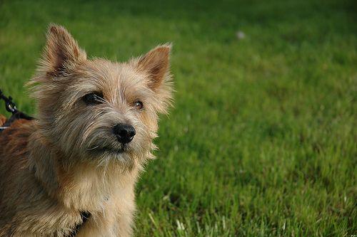 Kaatje Norwich Terrier | Norwich terrier, Terrier, Norwich