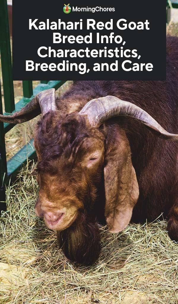 Kalahari Red Goat Breed Info, Characteristics, Breeding