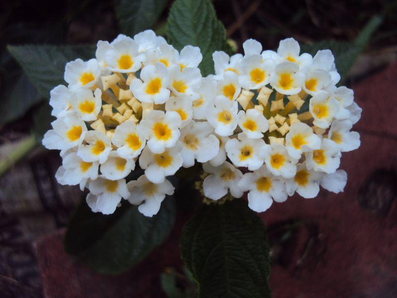 Lantana Lucky White Lantana Camara Lantana Plant Perennial Flowering Plants Lantana