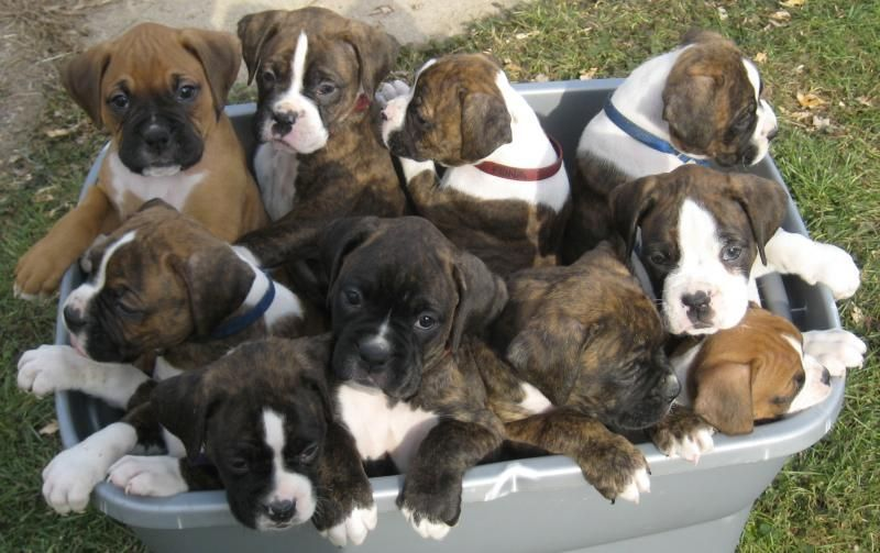 Basket Of Boxers Cute But Beeders Add To The Over Population Of Pets Our Shelter Kills 8 000 Animals A Yea Boxer Puppies Brindle Boxer Puppies Boxer Dogs