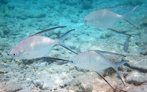 Palometa the palometa trachinotus goodei is an ocean for Old wife fish