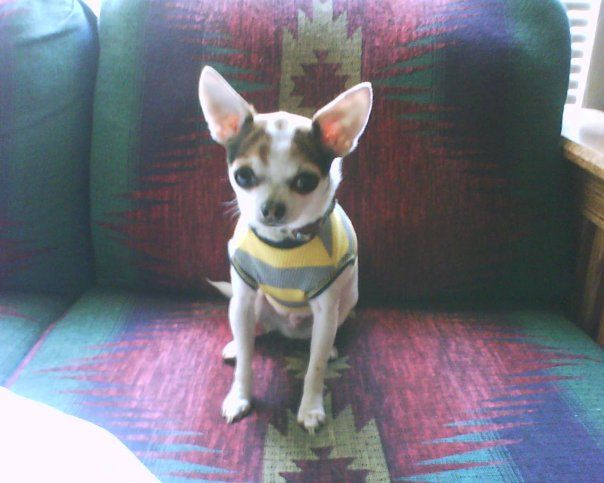 Timmy Oregon S Finest Chihuahua Chihuahua Pets Rescue Dogs