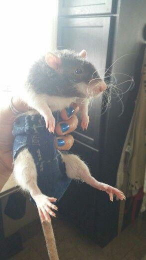 Small Pets Small Pets Small Pet Diaper Diy Male Rat Diaper Cute Rats Small Pets Pet Rats