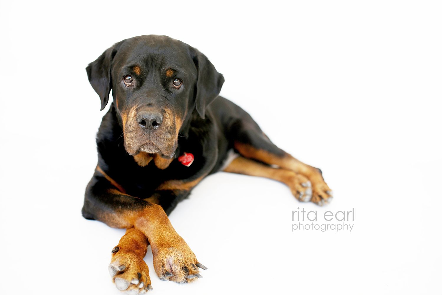 Adopt Dottie The Rottie On We Need A Home Rottweiler Dogs