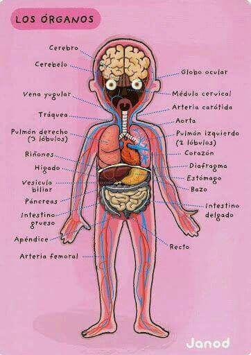 Pin de Marina Bojorquez en cuerpo humano | Pinterest | Cuerpo humano ...