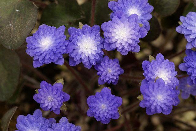 Hepatica nobilis var. japonica f. magna 'Seizan' by Sericea, via Flickr