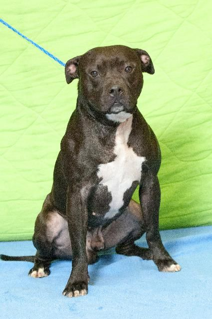 American Pit Bull Terrier Dog For Adoption In Johnson City Tn
