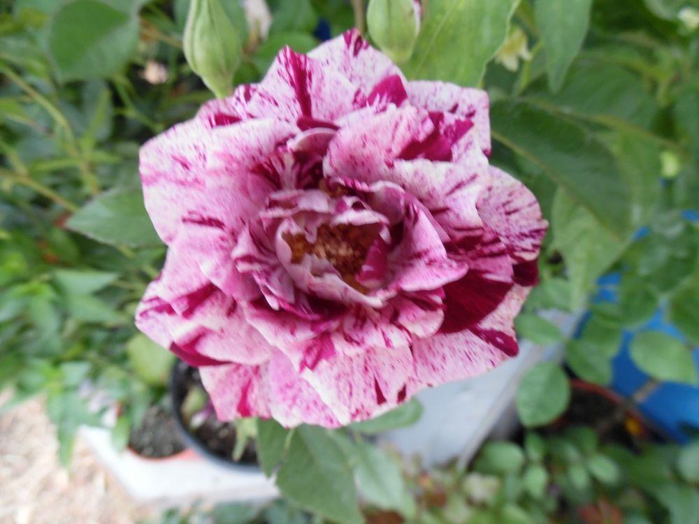 Roses #flowers learn how 2 #grow #rose http://www.growplants.org/growing/hybrid-tea-rose Buy PURPLE Abracadabra Rose -----1 live plant