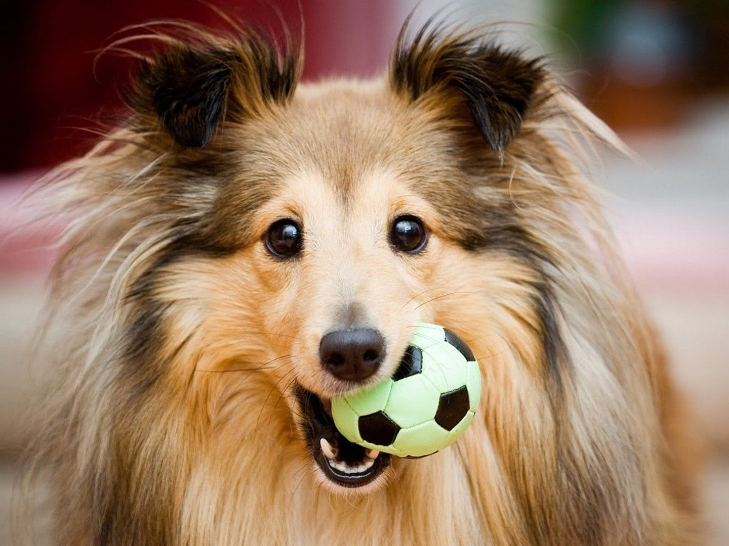 HD sheltie wallpaper | Sheltie wallpaper | Pinterest