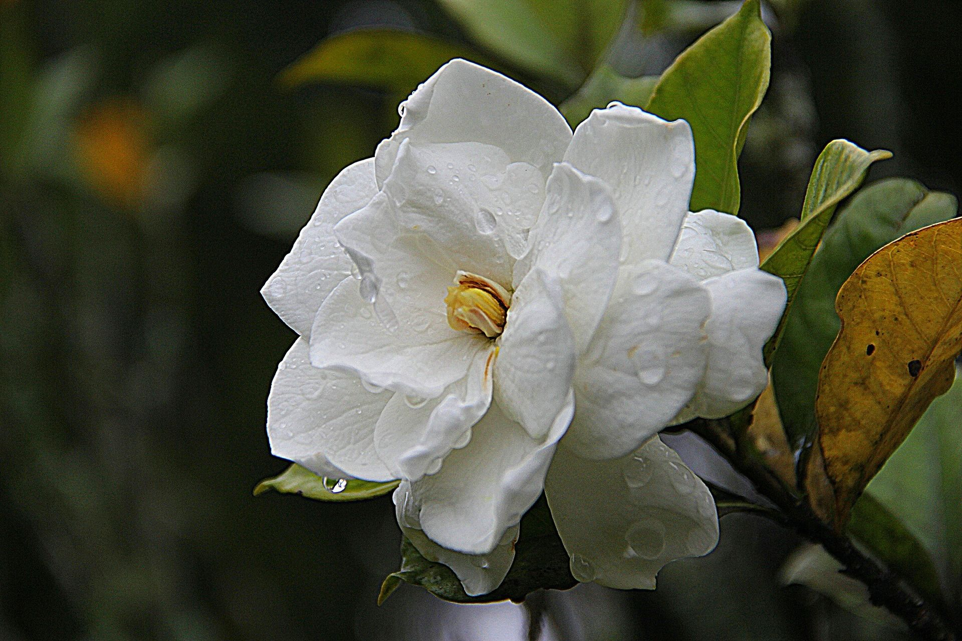 How To Care For Gardenias Smelling Flowers Expensive Flowers Weird Plants