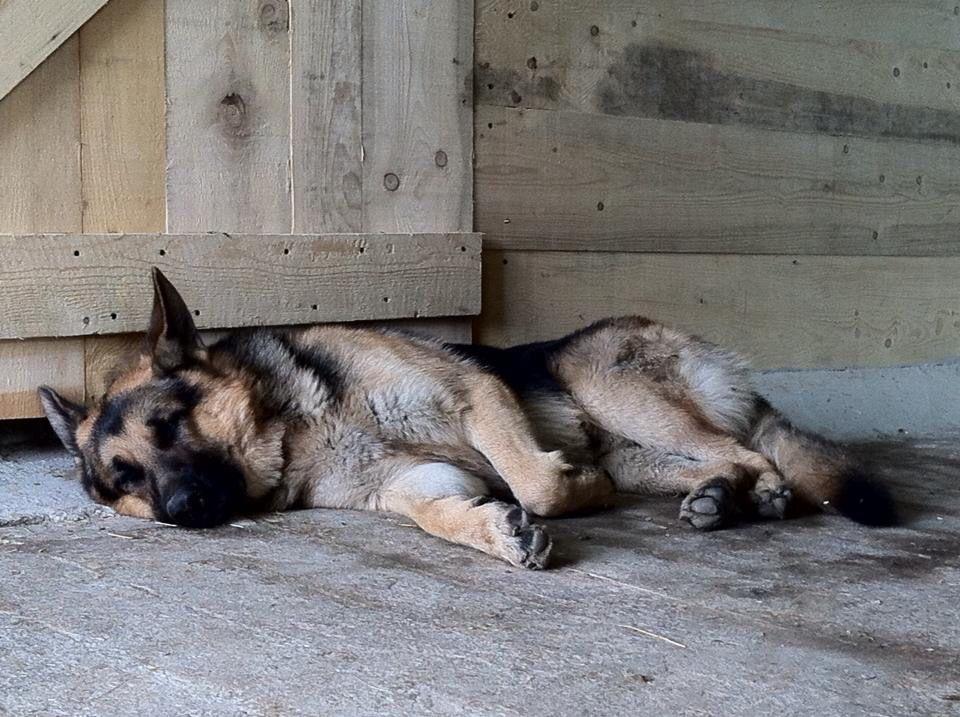 Baloo Pastore tedesco stanco!