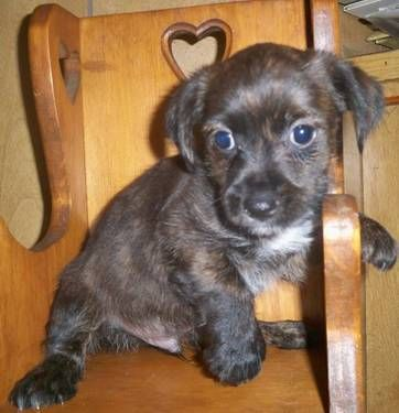This Is Smoke Our Little Cairn Terrier Yorkie Mix Boy Pup 200