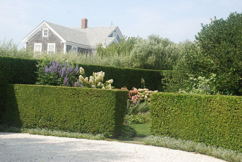 California Privet Hedge #immergrünesträucher