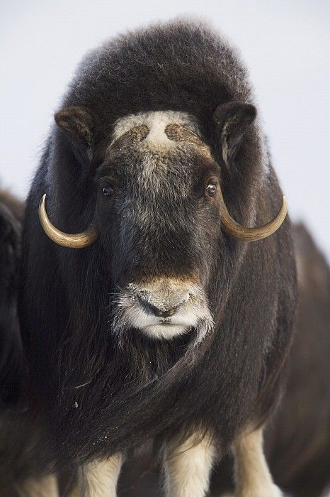 Female Musk-ox On The Seward Peninsula Print by Milo Burcham