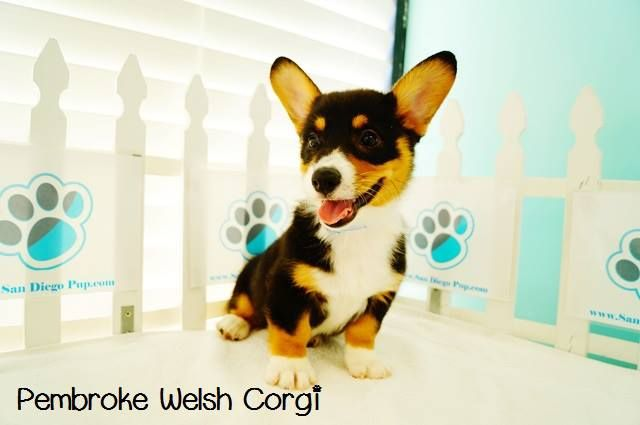 Pembroke Welsh Corgi Puppies Is This Breed The Right One For You