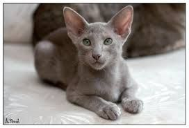 Image result for Maine Coon und OKH