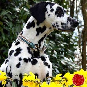 Hundehalsband-Rindleder-metallic-geflochten-7