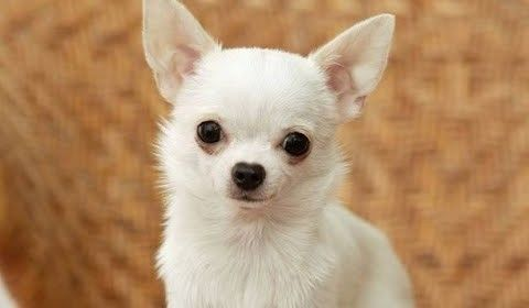 Chihuahua Dog Show 2016 Wkc Westminster Kennel Club Chihuahua