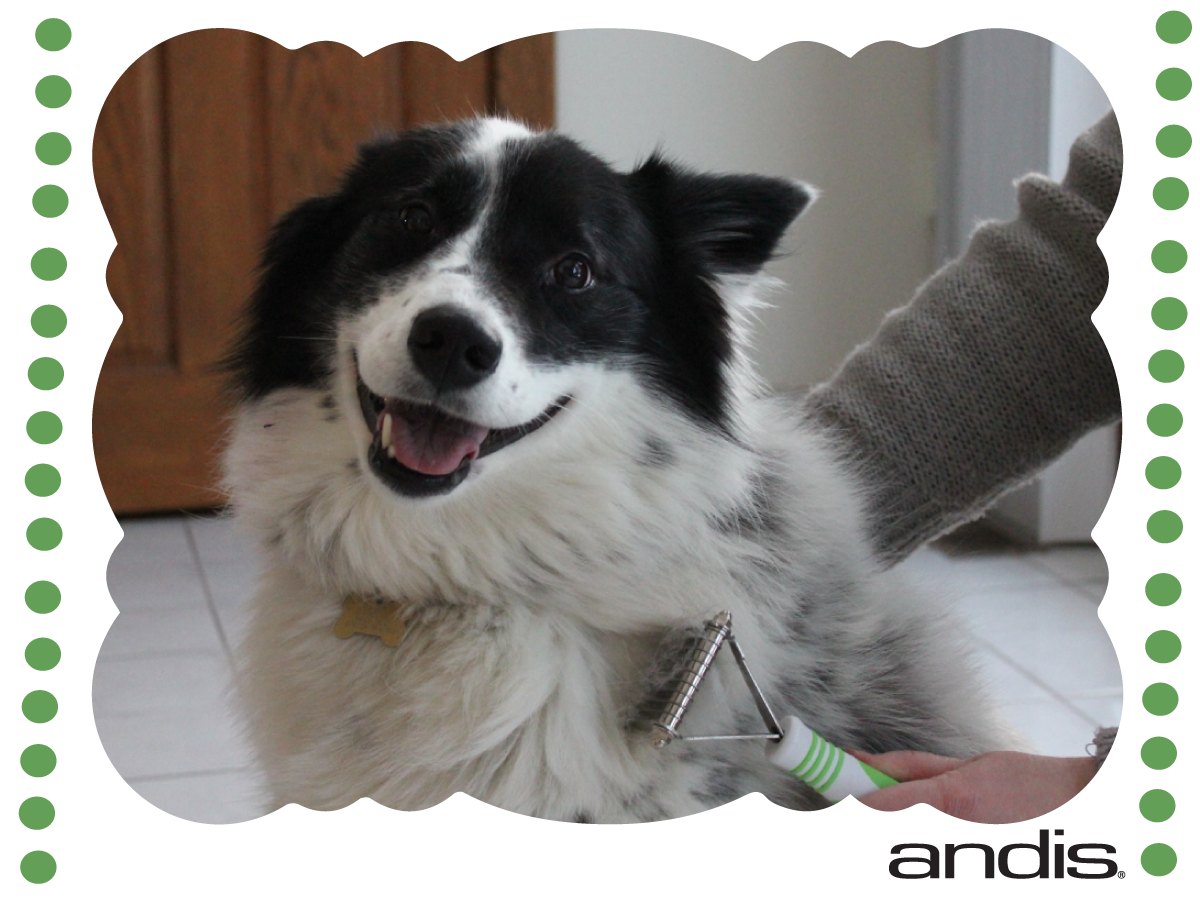 Tuesday Tip: Did you know mats in the fur can hurt your dog? Think of mats like having your hair in a ponytail that was a little too tight and how much it pulls at your skin. Use the Andis Dematting Tool which is specially designed with serrated blades to tackle stubborn mats and tangles.