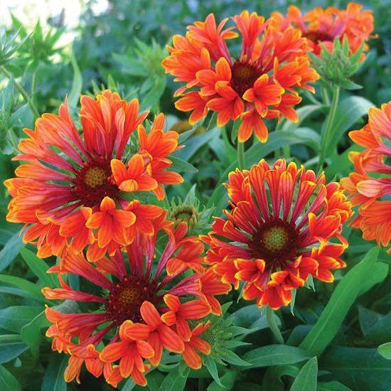Vibrant Perennial Flowers That Bloom All Summer Blanket